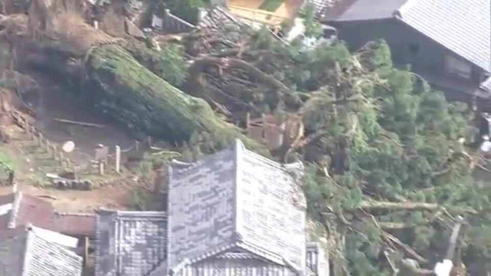 Видео: в Японии буря повалила священное тысячелетнее дерево
