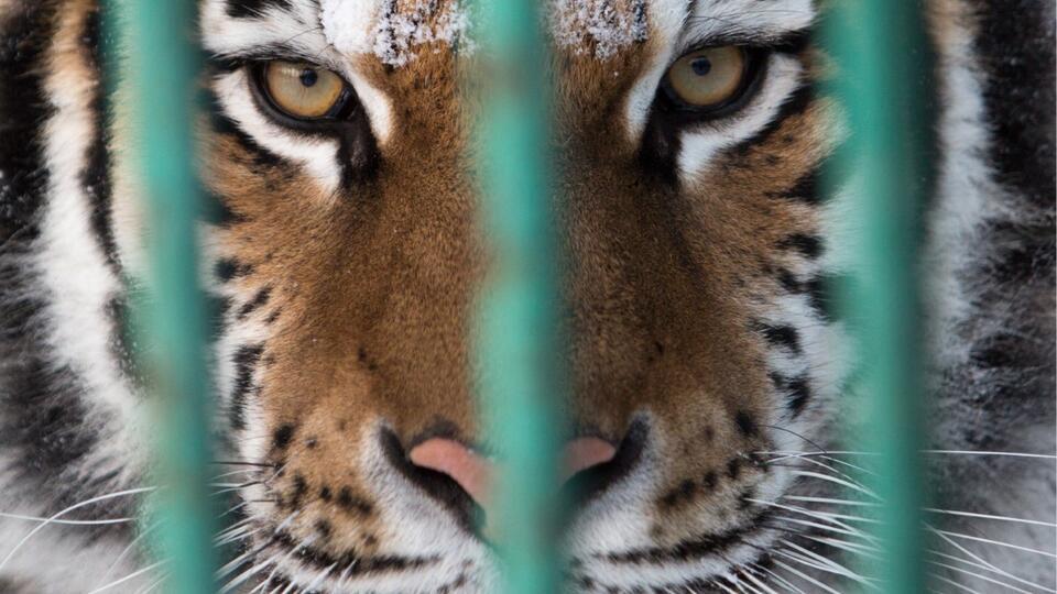 Проверку начали в Хабаровске после обнаружения тигра без головы