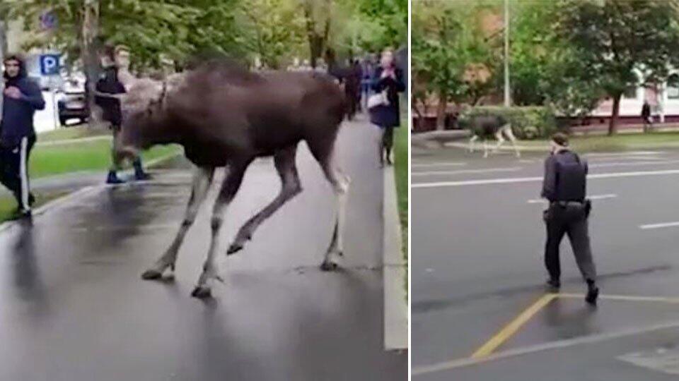 В Москве полицейские попытались задержать лося