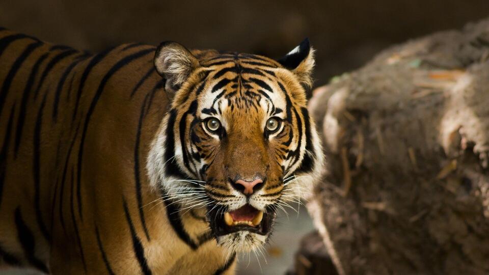 Амурский тигр утащил в лес человека под Хабаровском