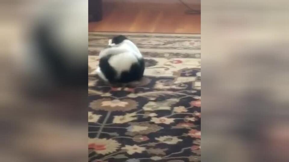 Видео: кот заметил у себя хвост, напал на него и рассмешил Сеть