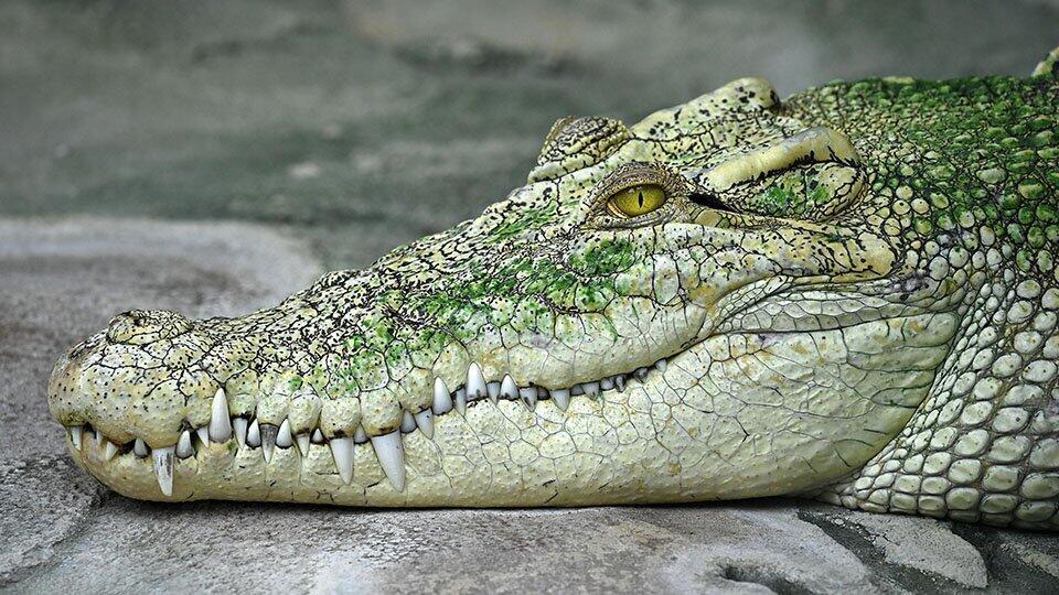 Украина намерена получить мясо крокодила в обмен на сало и свинину