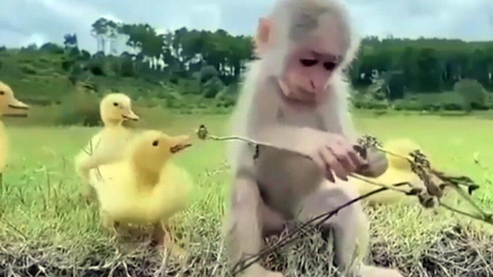 Интересные друзья: идиллия в отношениях обезьянки и утят умилила Сеть