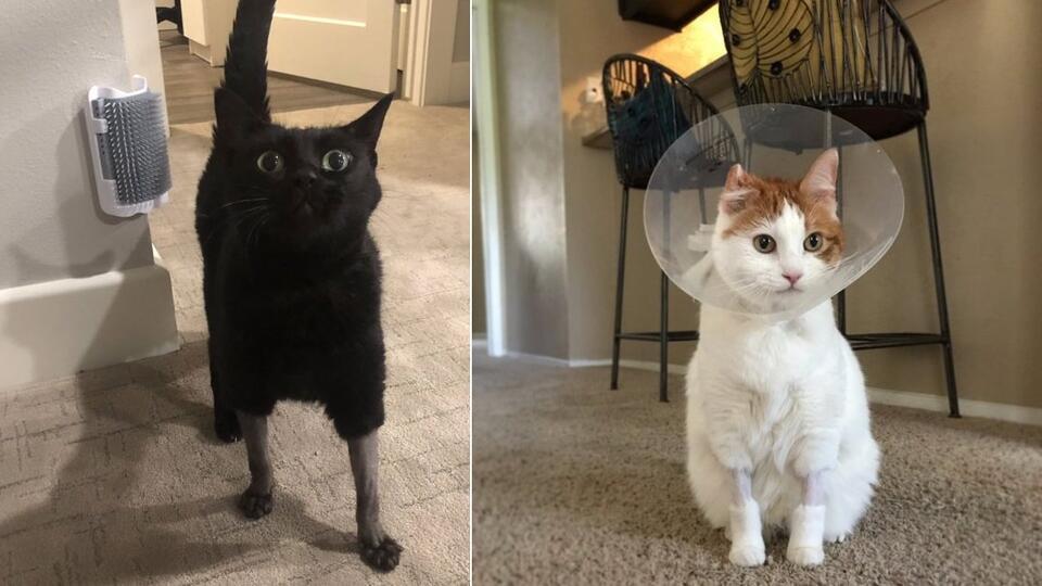 В Сети делятся снимками кошек с забавными стрижками после ветклиник