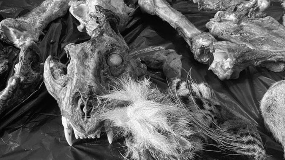 В Приморье задержали банду серийных убийц амурских тигров