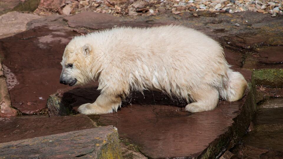 Белого медвежонка спасли в Красноярском крае и увезли в зоопарк Москвы