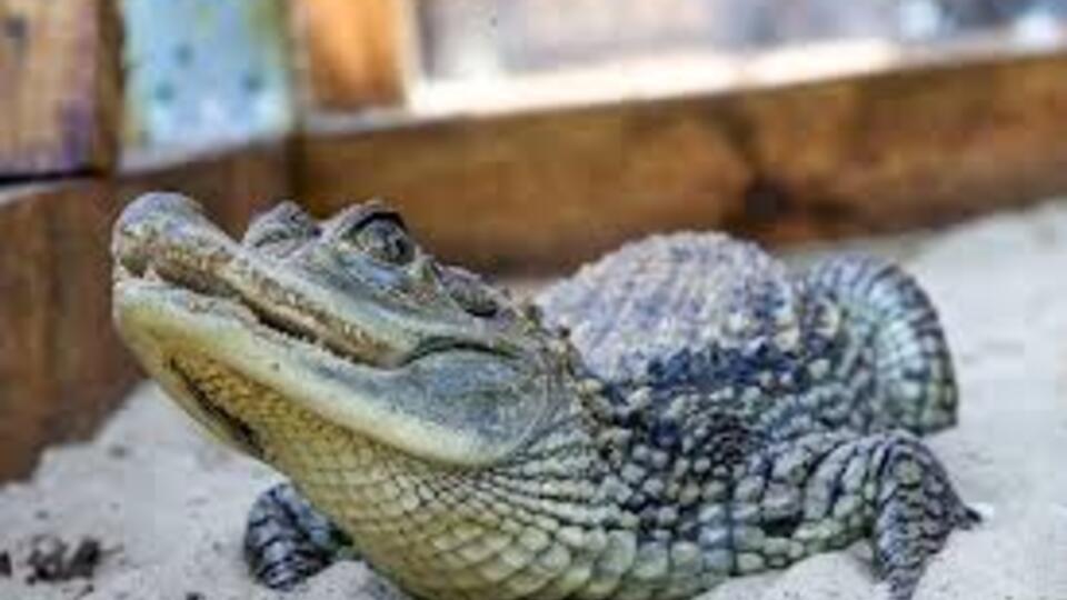 Ученые объяснили, почему крокодилы почти не изменились за миллионы лет