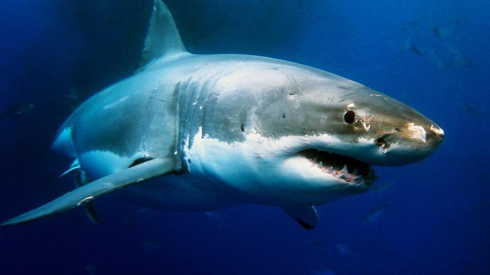 Серфер спасся от белой акулы с помощью мата и пинков