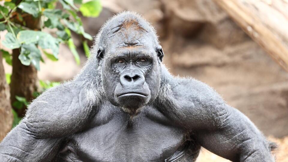 Серьезные травмы: горилла напала на сотрудницу зоопарка