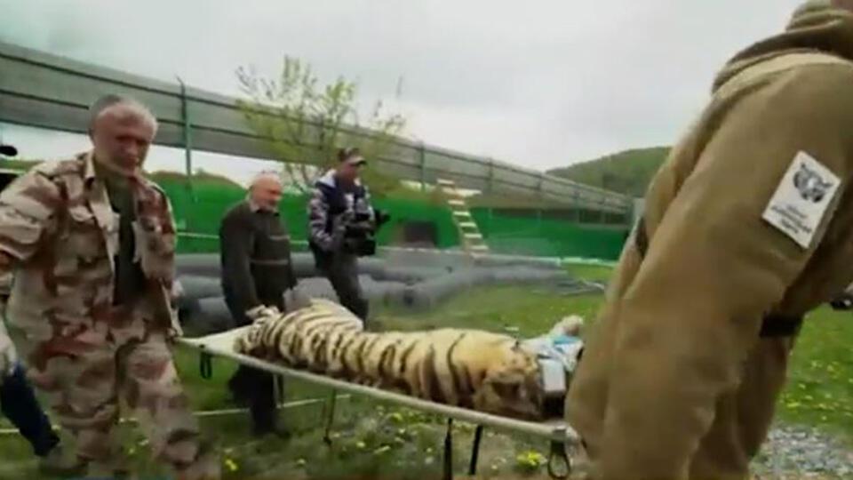 """""""Был уникальным"""": жители Амурской области шокированы убийством тигра"""