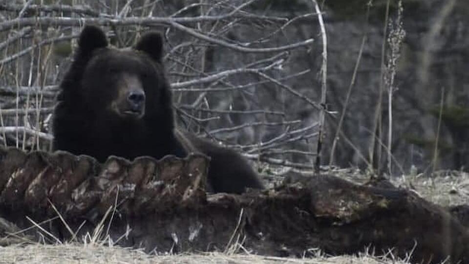 Поселившийся в костях кита медведь напугал жителей Курил