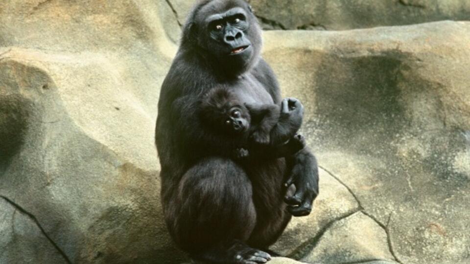 Ученые заявили, что заразившихся COVID-19 горилл нельзя убивать