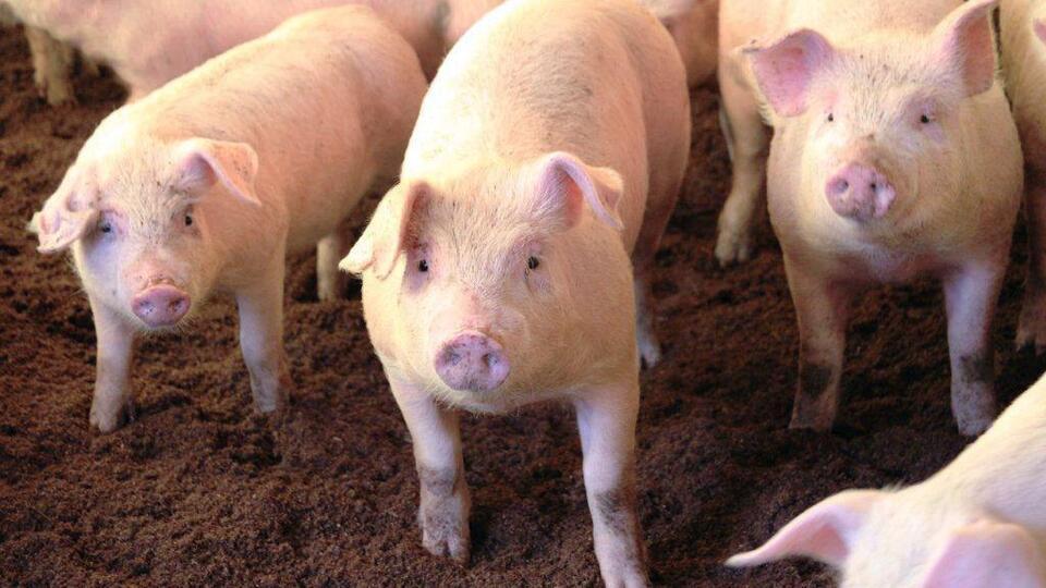 Два новых очага африканской чумы свиней обнаружены в Приморье