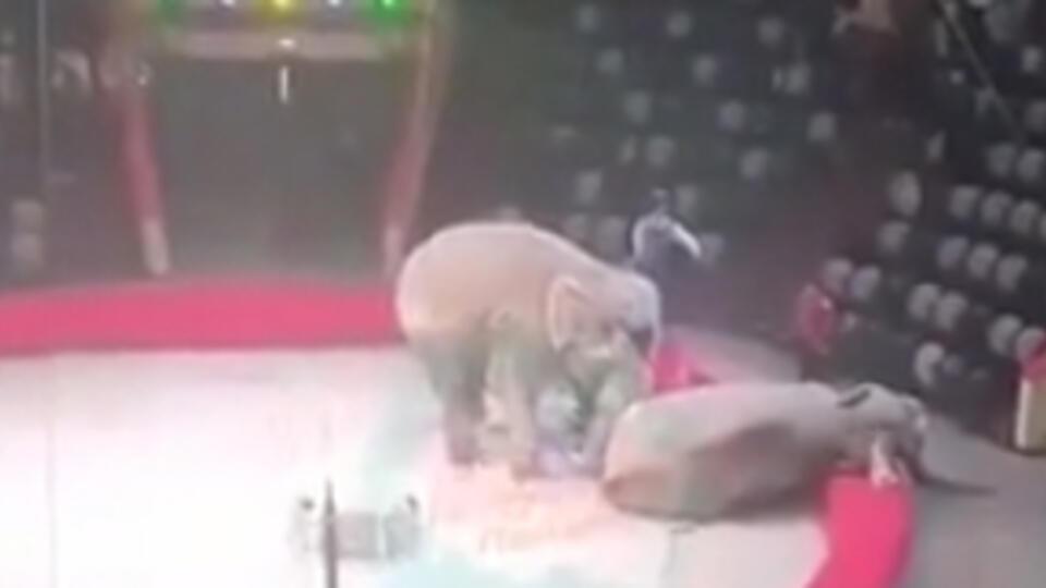 Подравшихся слоних из Казанского цирка поселили в Крыму