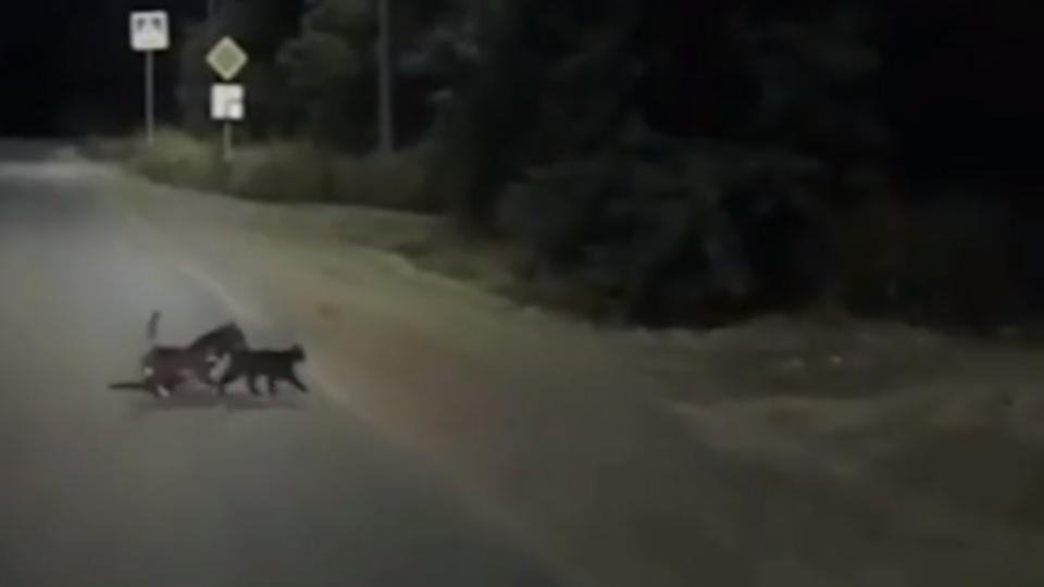 """""""Целая делегация"""": две кошки помогли раненой собаке и попали на видео"""