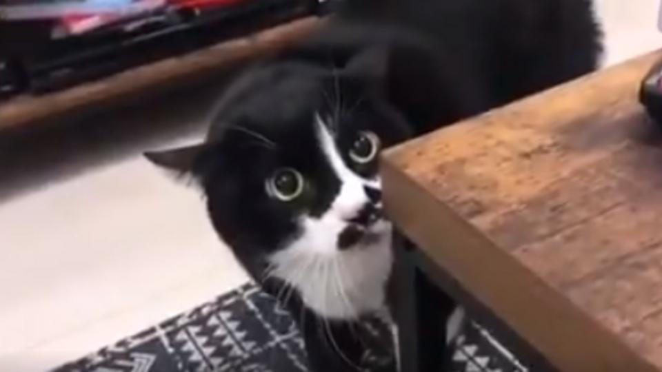 """""""Сразу очистилась душа"""": исполняющий застольные песни кот покорил Сеть"""