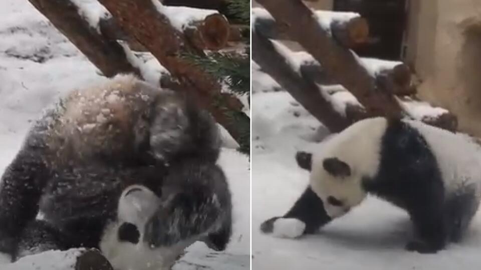 В Московском зоопарке засняли на видео, как панда радуется снегу