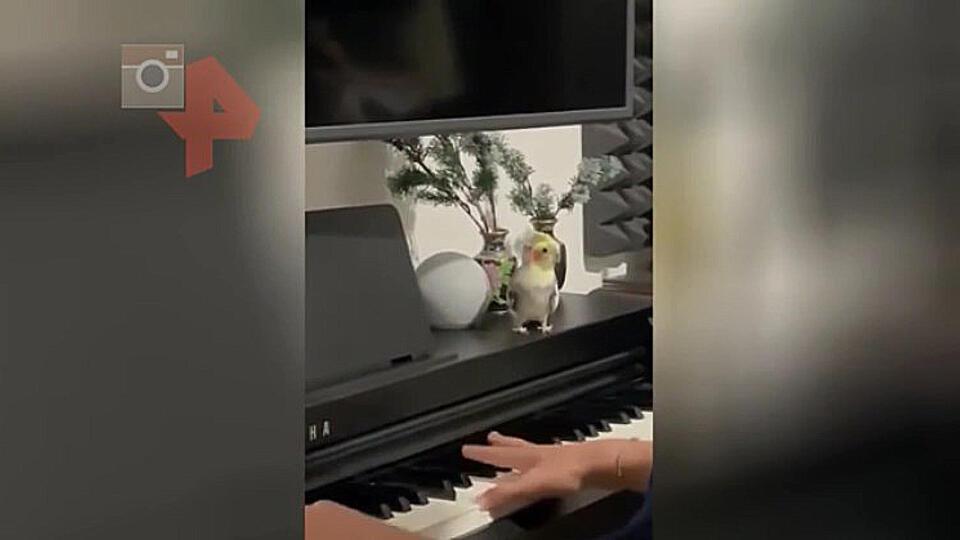 Дуэт пианиста с попугаем попал на видео и покорил пользователей Сети