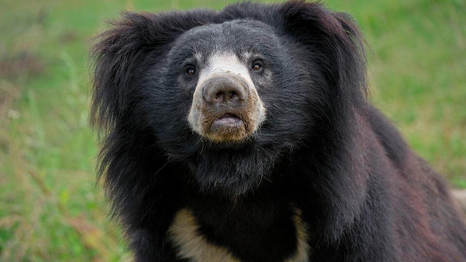 Медведь-губач разорвал лицо невнимательному грибнику