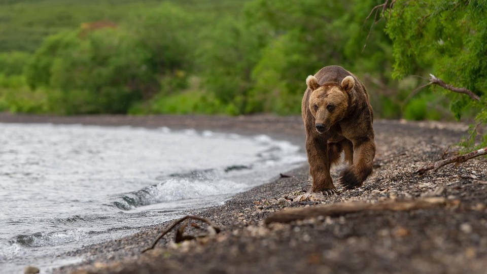 Турист притворился мертвым, когда медведь задрал подростка в Сибири