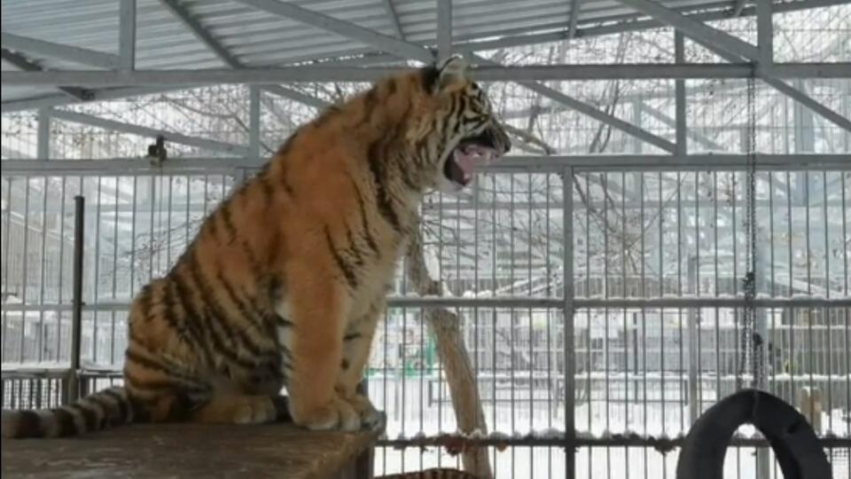 """Тигр """"поет"""" в зоопарке Барнаула, чтобы привлечь к себе внимание"""